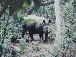 rhinoceros unicorne