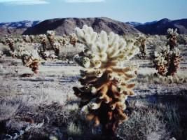 cactus ocotillo