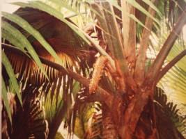 cocotier mâle