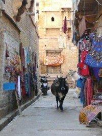 Images du Rajasthan (6) les vaches sacrées dans INDE RAJASTHAN P1090150