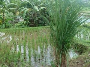 A Java et Bali (24/41) les rizières dans INDONESIE 9-28-300x225