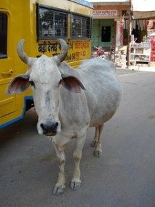 Vaches_Inde_2006