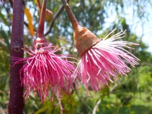 fleurs rares de l'eucalyptus